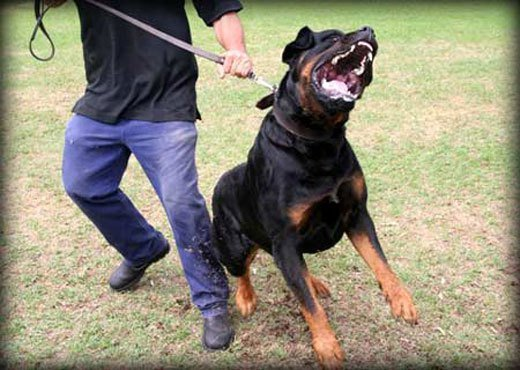 Guard Dog Training Centre Obedience Protection Training Dog Sales