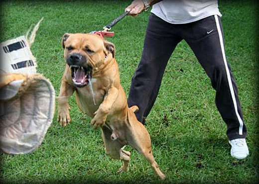 Dog Training And Boarding in Sydney | Guard Dog Training Centre