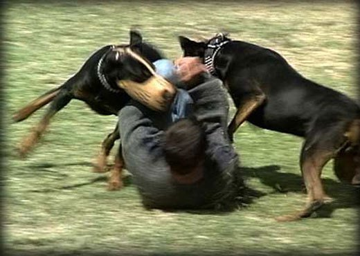 Doberman Attack Training